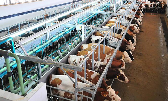 технологическое переоснащение, молочно-товарные фермы, Беларусь, Леонид Маринич