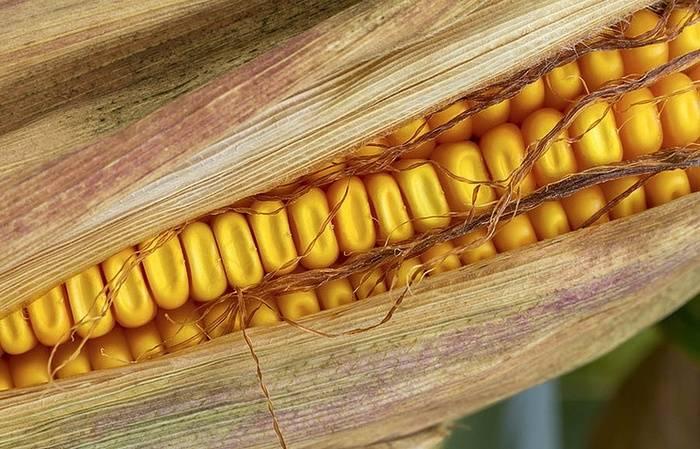 американские ученые, кукуруза с питательностью мяса