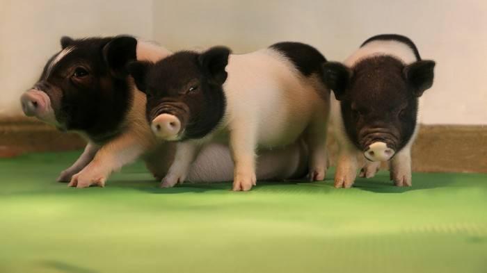диетические свиньи, уменьшенное содержание сала, Китай
