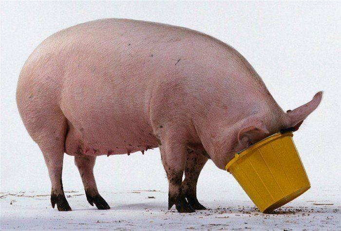 свиньи, корм, чеснок