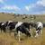 Гродненское племпредприятие, продажа, триста коров, животноводы, республика Коми