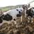 Витебская область, перепрофилирование, мясное скотоводство, Игорь Брыло