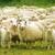 Гомельская область, овцеводство, комбинат Восток