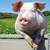 Беларусь, свиноводство, Витебский концерн Мясо-молочные продукты