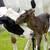 геномная селекция, внедрение, в животноводство, ЕАЭС